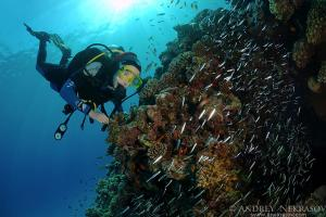 diver and Glassfish (Parapriacanthus guentheri)