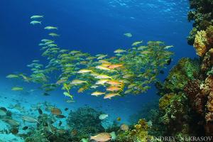 yellowfin goatfish (Mulloidichthys vanicolensis)